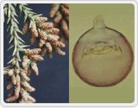 写真1:スギとその花粉