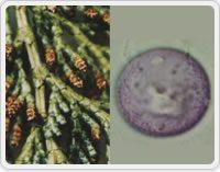 写真2:ヒノキとその花粉