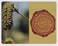 写真3:カモガヤとその花粉