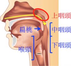 図1:上咽頭は鼻の一番奥にあります。